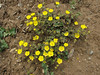 Potentilla cf. umbrosa, Iran, Gilan, Elburz mountains, pass, SE of Masuleh 2200m (6)