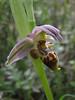 Ophrys oestrifera (syn. O. scolopax ssp. cornuta)1470m (Iran, Azarbayjan-e-Gharqi, mountains NW of Kharvanaq (19)