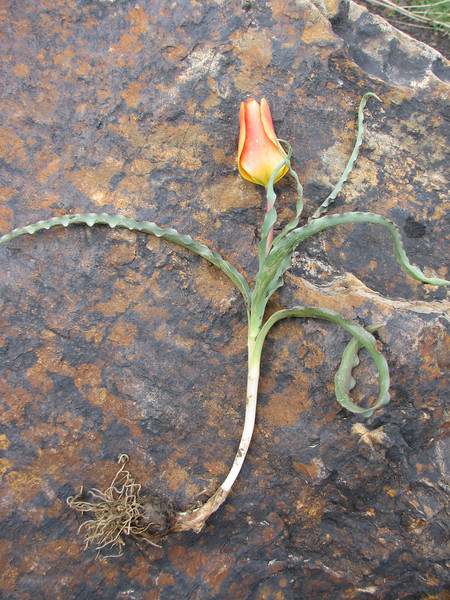 bulb of Tulipa montana (only for determination purposes)(Iran, Tehran, Elburz mountains, Dizin pass 3234m (2)
