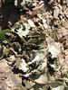 Dermatocarpon miniatum (Iran, Ardabil, Kuh-e-Sabalan mountains S of Lahrud, 2600m vulcanic (10)