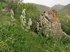 Eremostachys laciniata (Iran, Azarbayjan-e-Gharbi, near Kani Bagh 2600m, 30 km NE of Piranshahr (26)