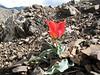 Tulipa spec. (58.1 PG) cf. T.eichleri (Iran, Azarbayjan-e-Gharqi, mountains NE of Kalibar 1900m (14)