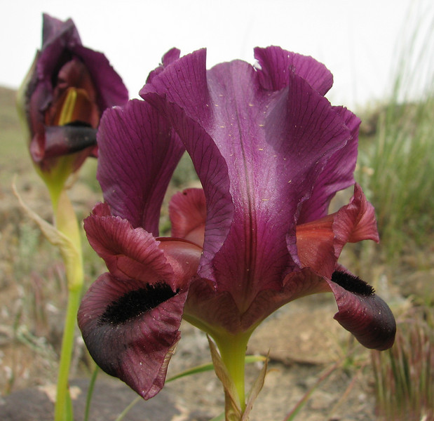 Iris barnumae (Iran, Azarbayjan-e-Gharqi, mountains near  border of Orumieh saltlake, 8km S of Ag Gonbad 1410m)(21)