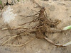 bulb/roots of Iris meda (only for determination purposes) (Iran, Zanjan, 3km NE of Sontu (35)