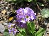 Bombus terrestris (NL: aardhommel) on Primula auriculata Iran, Gilan, Elburz mountains, pass, SE of Masuleh 2200m (6)
