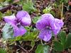 Viola odorata, (NL: maarts viooltje) (Iran, Gilan, Tales mountains, pass, SW of Asalem 2030-2380m (7)