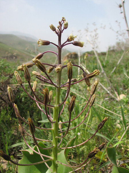 Bellevalia sarmatica, B. longipes has much longer pedicels (Iran, Azarbayjan-e-Gharbi, pass 2300m Ziveh-Kaveh near border Turkey - Iraq)(23)