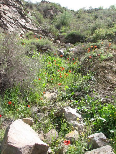 Papaver lacerum (Iran, Azarbayjan-e-Gharqi, mountains between Ahar and Meshgin Shahr (11)