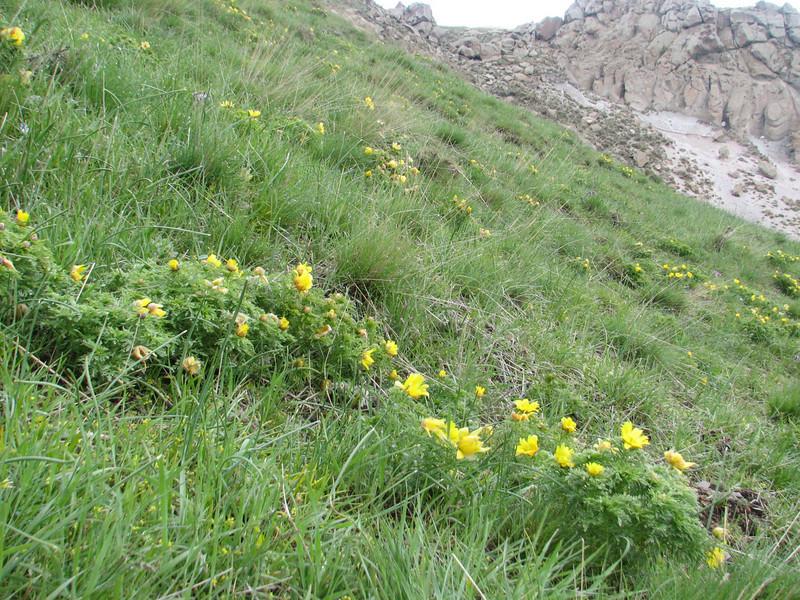 Adonis wolgensis  (Iran, Ardabil, Kuh-e-Sabalan mountains S of Lahrud, 2600m vulcanic (10)