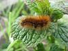caterpillar of Arctia caja (NL: grote beer) (Iran, Azarbayjan-e-Gharqi, mountains NE of Kalibar 1900m (14)