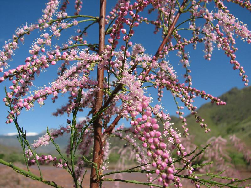 Tamarix spec. (Iran, Azarbayjan-e-Gharqi, mountains NE of Mardanqayem, border Iran-Armenia (16)