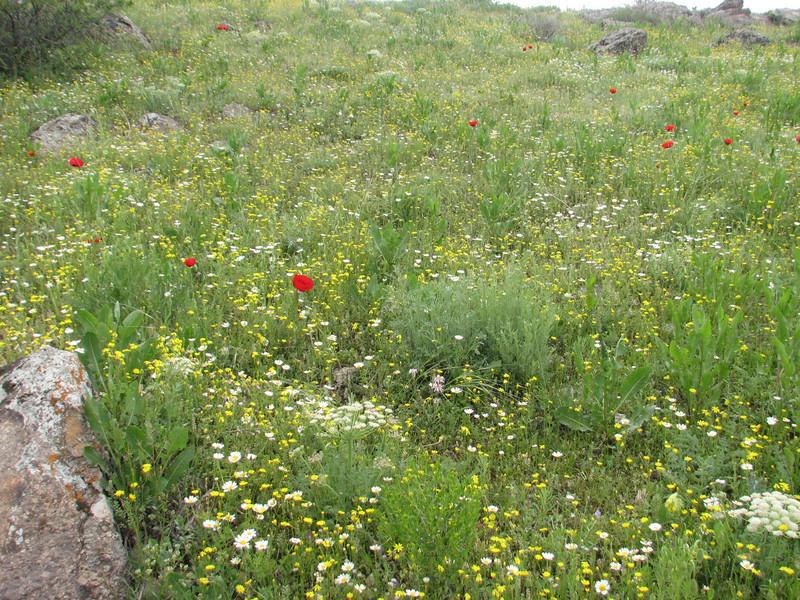 Pimpinella cf. kotschyana (Iran, Ardabil, mountains between Khalkhal and Kivi (8)