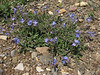 Veronica orientalis   Iran, Gilan, Elburz mountains, pass, SE of Masuleh 2200m (6)