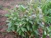 Euphorbia spec. (Iran, Gilan, Tales mountains, pass, SW of Asalem 2030-2380m (7)