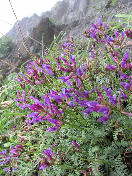 Oxytropis cf. lupinoides (Iran,Gilan, Elburz mountains, above Masuleh near Fuman 2300m (4)