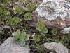 Sedum spurium (Iran, Ardabil, Kuh-e-Sabalan mountains S of Lahrud, 2600m vulcanic (10)