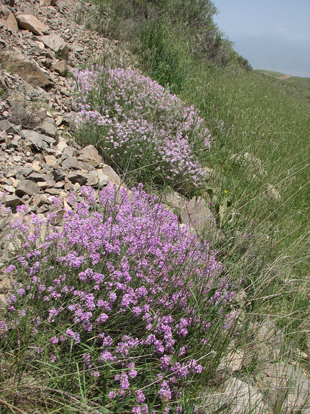 Aethionema grandiflora (Iran, Zanjan, Sendan mountains, pass 2200m near Khanchay, 30km NE of Bonab (38)