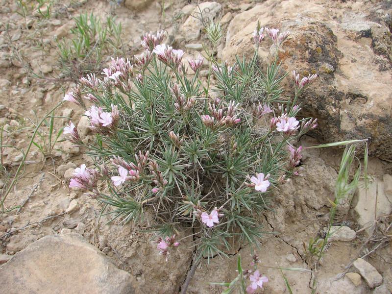 Acantholimon spec. (Iran, Zanjan, 3km NE of Sontu (35)