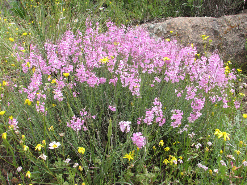 Aethionema grandiflora (Iran, Ardabil, mountains between Khalkhal and Kivi (8)