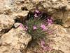 Dianthus orientalis ssp. stenocalyx (Iran, Azarbayjan-e-Gharbi, 5km SW of Shahin Dezh 1700-1800m (29)