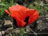 Papaver lacerum (Iran, Azarbayjan-e-Gharqi, mountains between Ahar and Meshgin Shahr (11)