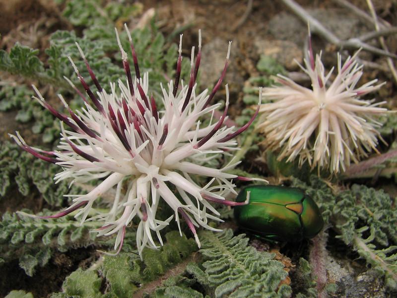 Potosia aeruginosa on Centaurea ispahanica (Iran, Azarbayjan-e-Gharqi, mountains near border of Orumieh saltlake, 8km S of Ag Gonbad 1410m)(21)