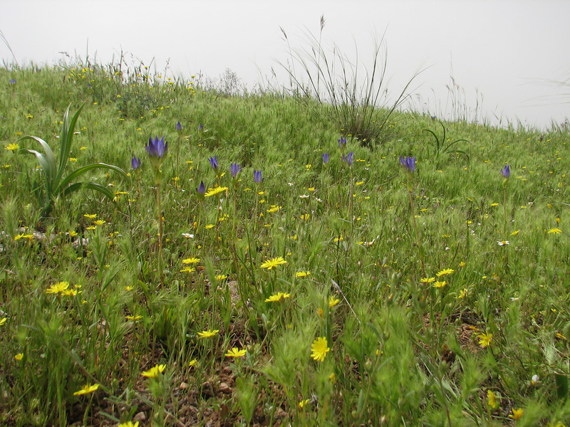 habitat of Gentiana olivieri  (Iran, Azarbayjan-e-Gharbi, 15km SW of Shahin Dezh(28)