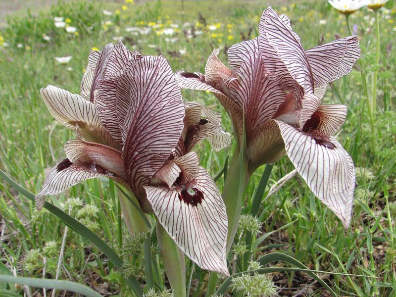 Iris acutiloba lineolata (Iran, Ardabil, mountains between Khalkhal and Kivi (8)