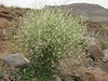 Crambe orientalis (Iran, Azarbayjan-e-Gharqi, mountains near border of Orumieh saltlake, 8km S of Ag Gonbad)(21)