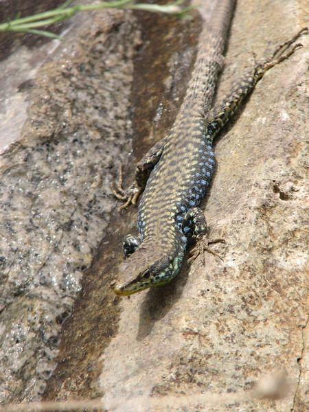 Darevskia raddei ssp. raddei, Lizard, ID by Khosrow Rajabizadeh, (Iran, Azarbayjan-e-Gharqi, mountains between Ahar and Meshgin Shahr (11)