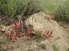Astragalus spec. (Iran, Zanjan, 3km NE of Sontu (35)