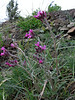 Fibigia suffruticosa (Iran, Tehran, Elburz mountains, Dizin pass 3234m (2)