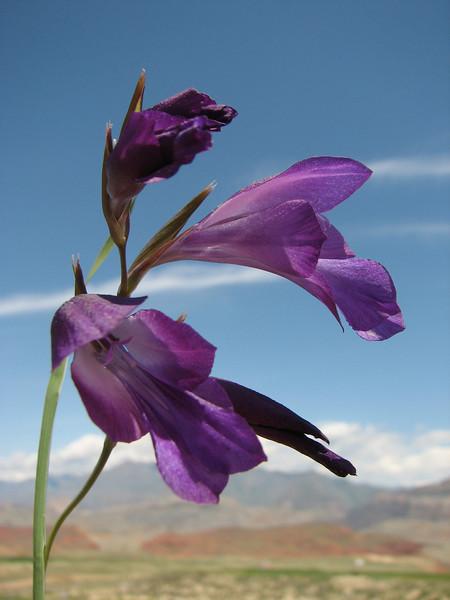 Gladiolus atroviolaceus, (Iran, Azarbayjan-e-Gharqi, mountains 15 km S of Siyah Rud, 1400m (18)