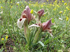 Iris acutiloba lineolata (Iran, Ardabil, mountains between Khalkhal and Kivi (8)
