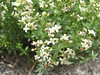 Galium spec. (Iran, Azarbayjan-e-Gharqi, mountains between Ahar and Meshgin Shahr (11)