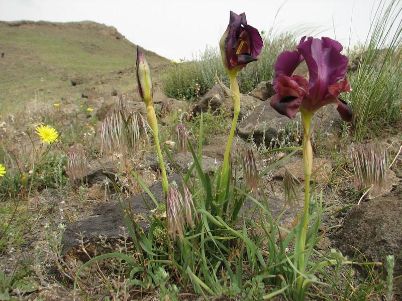 Iris barnumae