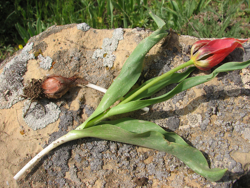 bulb of Tulipa spec. aff. systola (67,9 PG)(only for determination purposes)(Iran, Azarbayjan-e-Gharbi, pass 2300m Ziveh-Kaveh near border Turkey - Iraq)(23)