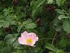 Rosa canina (Iran, Azarbayjan-e-Gharbi, near Kani Bagh 2600m, 30 km NE of Piranshahr (26)