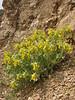 Onosma cassium (Iran, Azarbayjan-e-Gharbi, near Kani Bagh 2600m, 30 km NE of Piranshahr (26)