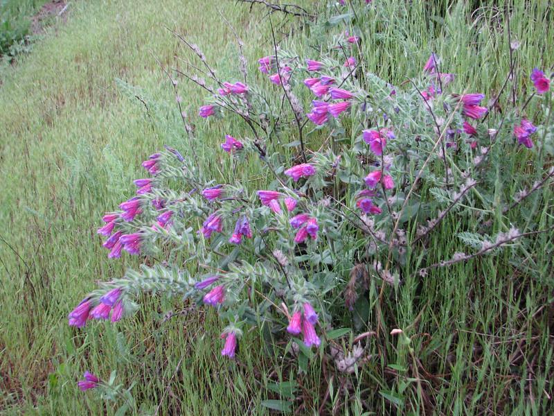 Echium angustifolium (Iran, Gilan, Elburz mountains, Fasham pass 2800m (3)