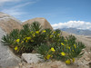 Ajuga chamaepitys (Iran, Azarbayjan-e-Gharqi, mountains 15 km S of Siyah Rud, 1400m (18)