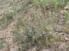 Dendrostellera lessertii (Iran, Zanjan, 3km NE of Sontu (35)