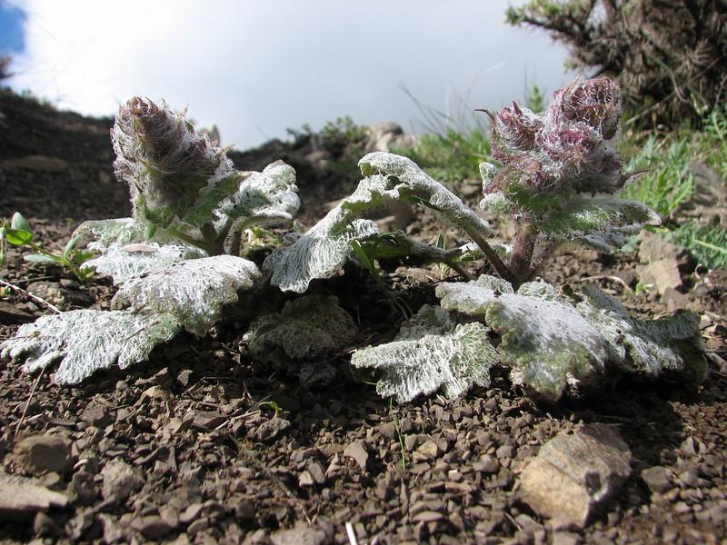 Salvia spec. (Iran, Azarbayjan-e-Gharqi, mountains NE of Kalibar 1900m (14)