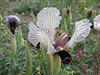 Iris paradoxa forma Choschab (Iran, Ardabil, mountains between Arjaq and Lahrud (9)