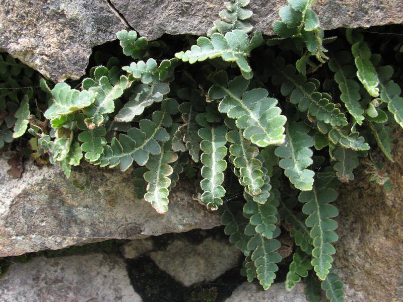 Ceterach officinarum (Iran, Azarbayjan-e-Gharqi, mountains between Ahar and Meshgin Shahr (11)