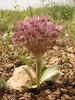 Allium cf. noëanum (Iran, Azarbayjan-e-Gharbi, 15km SW of Shahin Dezh(28)