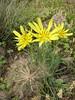 Tragopogon graminifolius (Iran, Azarbayjan-e-Gharqi, mountains near border of Orumieh saltlake, 8km S of Ag Gonbad)(21)