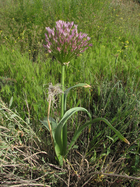 Allium cf. cristophii (Iran, Zanjan, near tin-mine 3km E of Dandi (34)