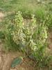 Eremostachys macrophylla (Iran, Zanjan, 3km NE of Sontu (35)