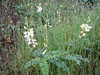Onobrychis spec. (shrub